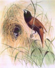 The Black-headed Munia