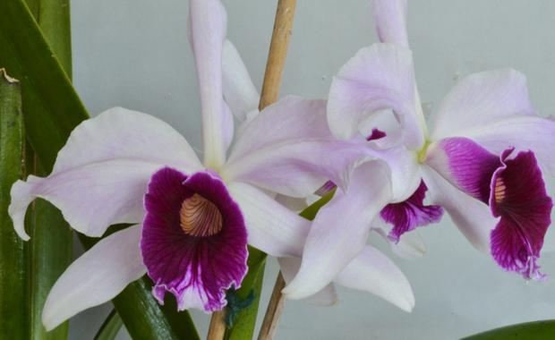 Cattleya (Laelia) purpurata