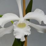 Cattleya (Laelia) purpurata var. alba