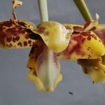Stanhopea maculosa