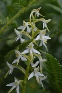 p.chlorantha, wall