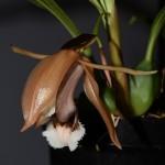 Coelogyne speciosa