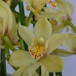 unknown Cymbidium hybrid