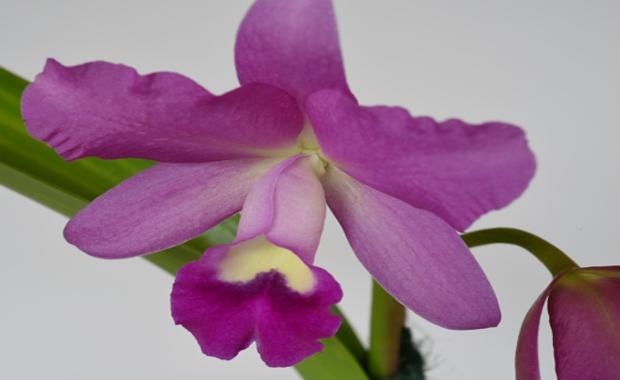 Cattleya Porcia