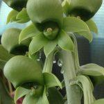 Catasetum charlesworthii x ornithoides (F)